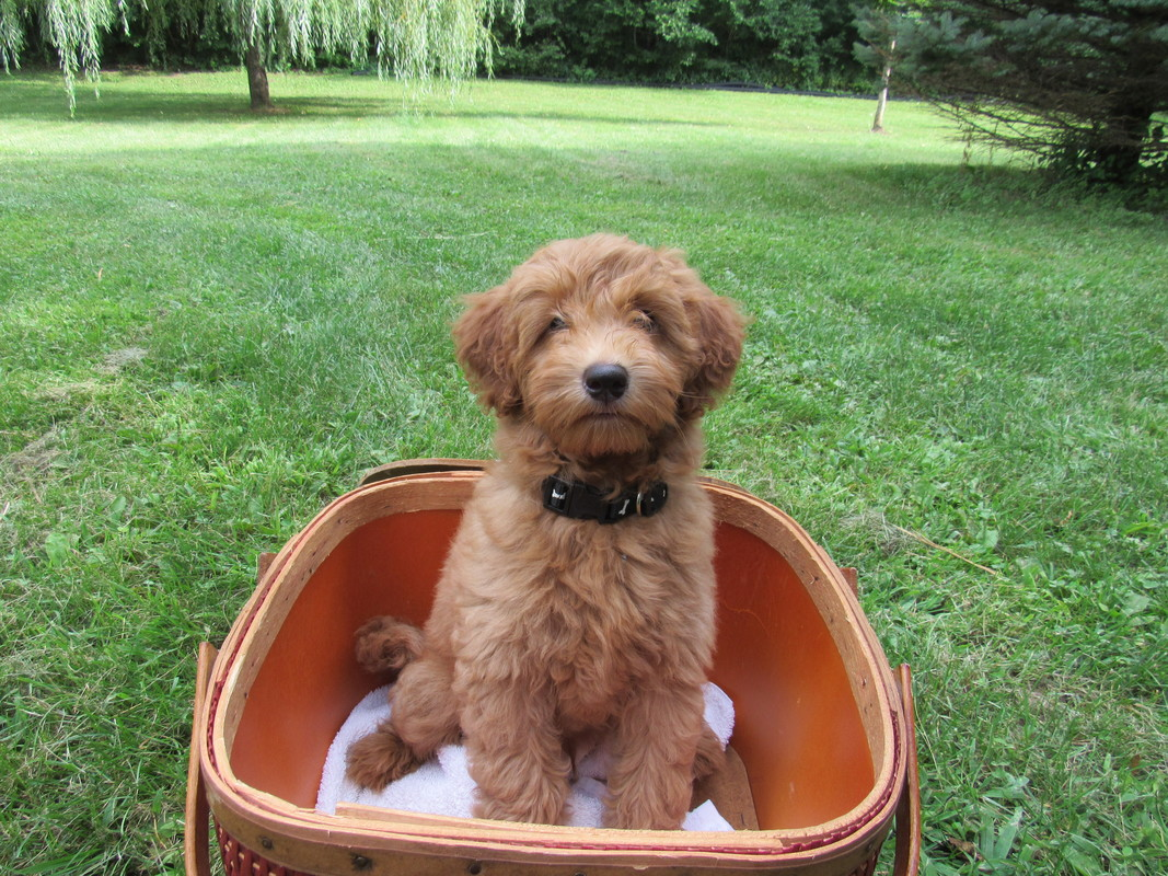 F1B Petite Labradoodles - Welcome to Grandma's Doodles